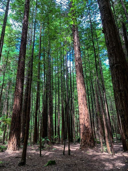 Whakarewarewa Forest with tall redwood trees green leaves