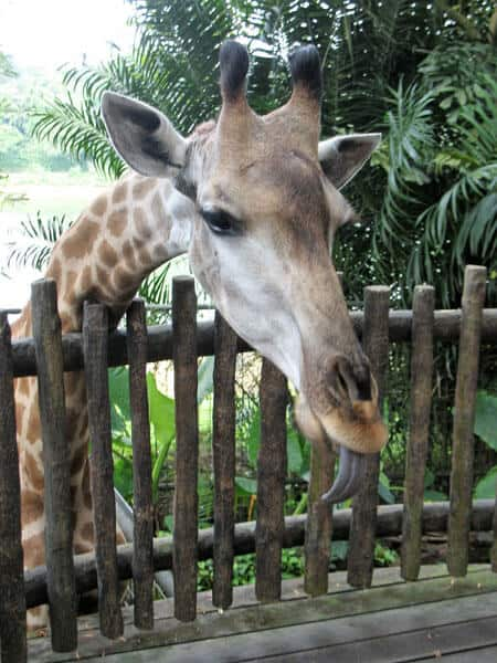 giraffe with his tongue out feeding at singapore zoo