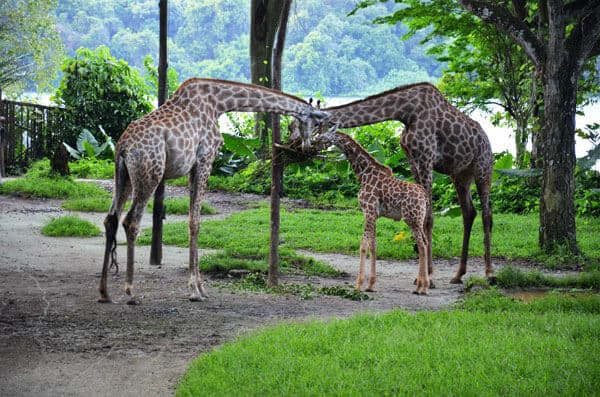 3 giraffes eating in a grassed area at singapore zoo