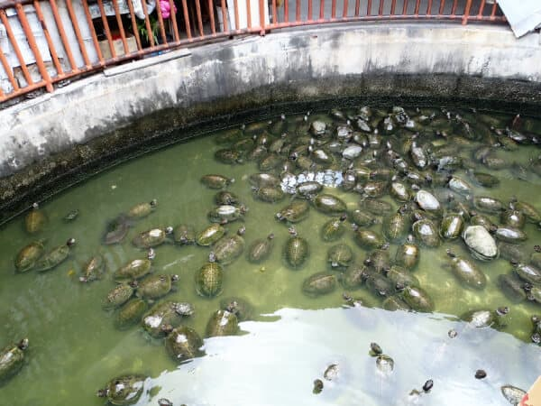 lots of turtles in a dirty pond