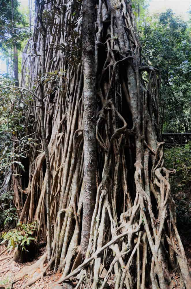 a huge strangling fig tree with extensive vertical aerial roots in mabi rainforest