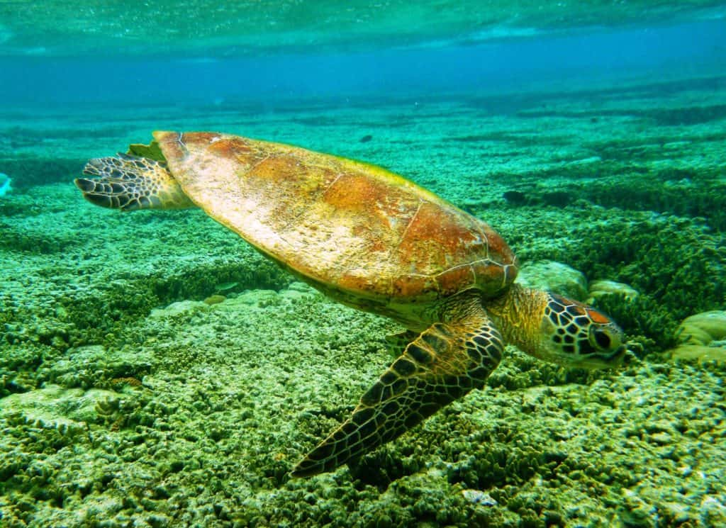 green turtle under the ocean with coral on the sea bed on frankland islands cruise
