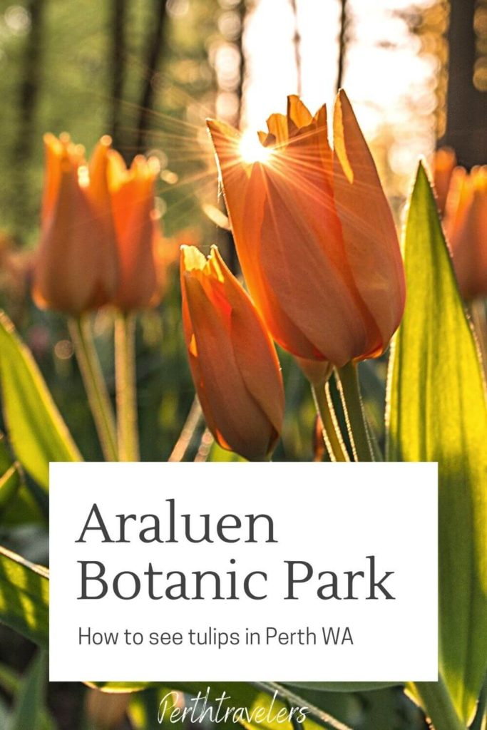 sunlight on tulips with text araluen botanic park how to see tulips in perth wa